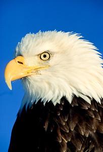 Bald Eagle-102