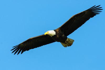 Bald Eagle-624
