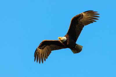 Bald Eagle-460