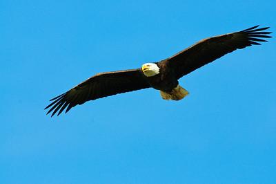 Bald Eagle-623