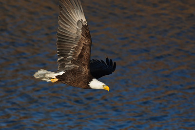 Bald Eagle-246