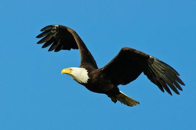 Bald Eagle-650