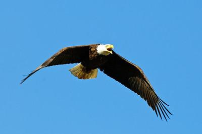 Bald Eagle-356