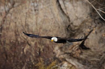Bald Eagle-250
