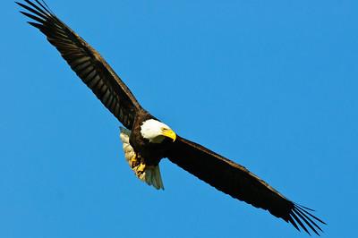 Bald Eagle-638