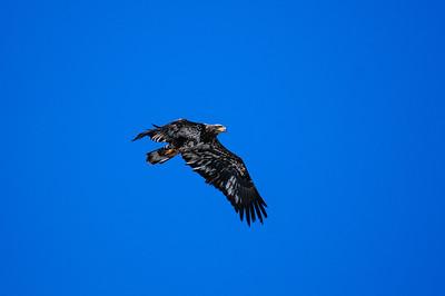 Bald Eagle-1209