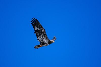 Bald Eagle-1210