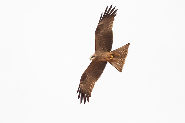 David Stowe-Black Kite-4958-2