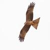 David Stowe-Black Kite-4958-2