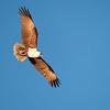 Brahminy Kite-David Stowe-DS1_8559-Edit