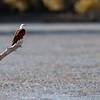 Brahminy Kite-David Stowe-DS1_8612