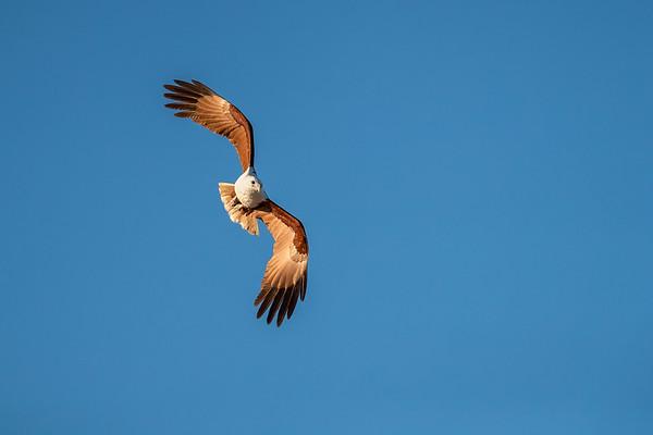 Brahminy Kite-David Stowe-DS1_8553-Edit