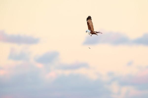 Brahminy Kite-David Stowe-DSP_8969-Edit