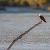 Brahminy Kite-David Stowe-DS1_8622