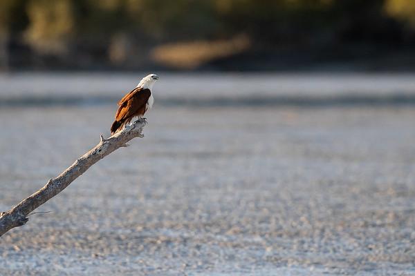 Brahminy Kite-David Stowe-DS1_8611