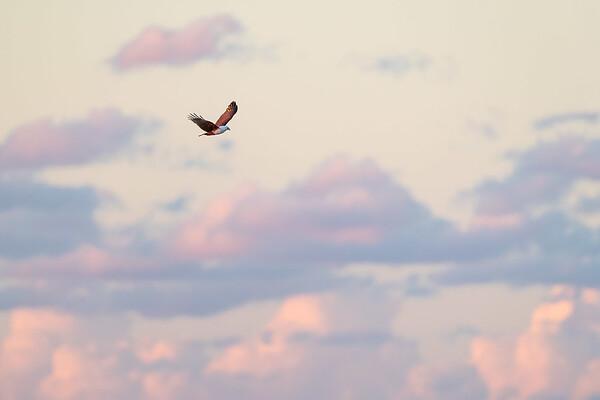 Brahminy Kite-David Stowe-DSP_8924-Edit