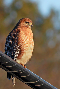Adult Red-shouldered Hawk