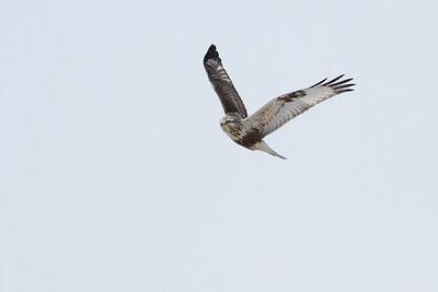 Juvenile Rough-legged Hawk