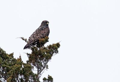 Adult dark-morph Rough-legged Hawk
