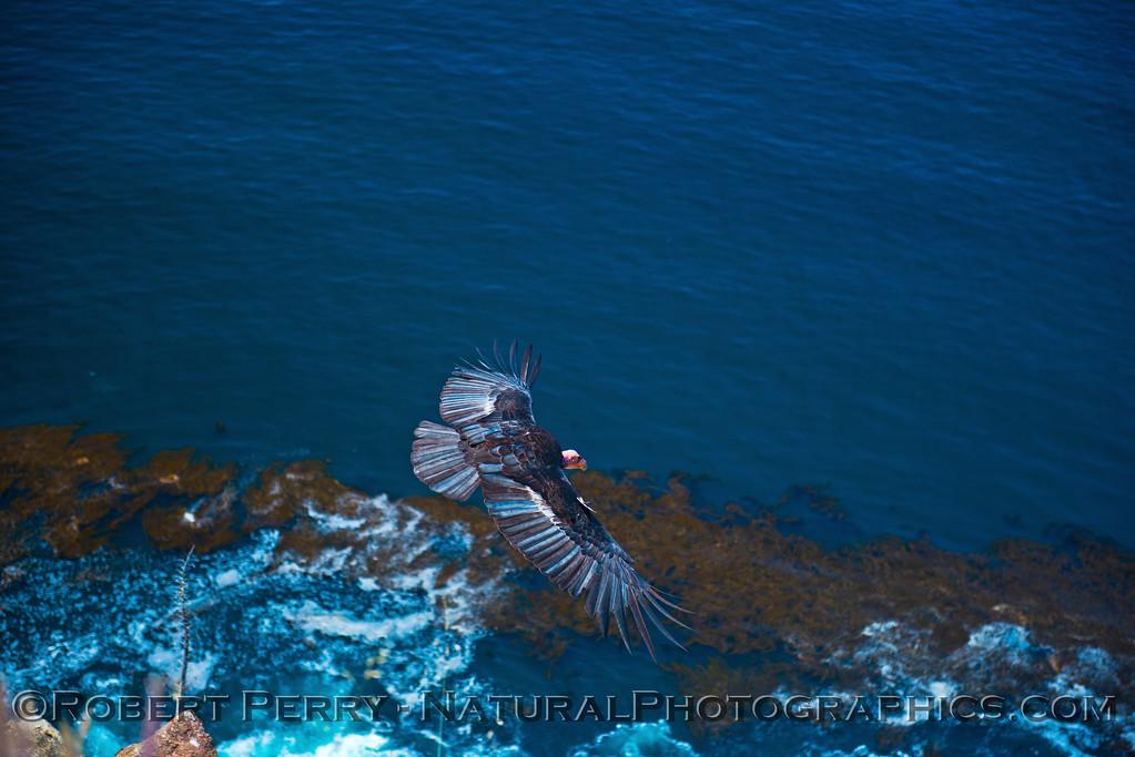 Gymnogyps californianus 2016 04-20 Big Sur Coast-031