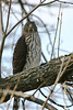 Immature Coopers Hawk Sitting outside my parents house in Dublin, OH<br /> Oct 2009