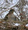 Cooper's Hawk @ Blendon Woods Metro Park - January 2007