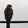 Coopers Hawk @ Home - March 2013