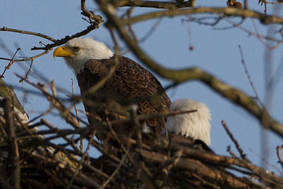Bald Eagles Nesting Male and Female