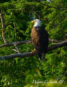 Bald Eagle on Wilson Lake ME