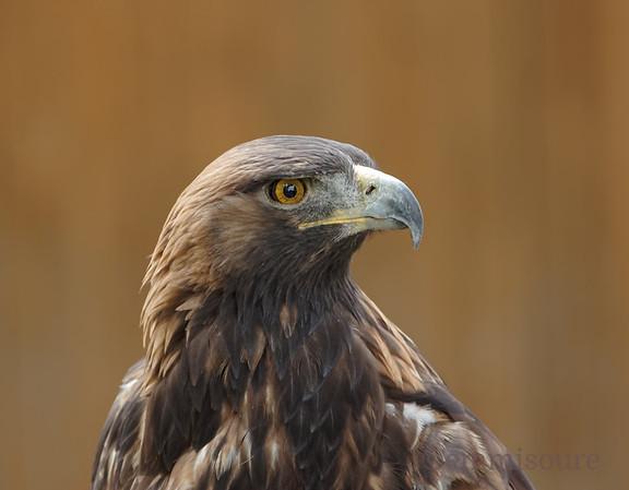 Golden Eagle Profile