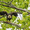 Bald Eagle @ Magee Marsh SP, OH - May 2016