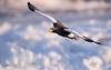 Steller's eagle (jättehavsörn) <i>Halieetus pelagicus</i>