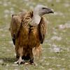 <b>Griffon vulture</b> (<i>Gyps fulvus</i>) (gåsgam),Spain 2010.