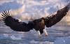 Steller's eagle (jättehavsörn) Halieetus pelagicus
