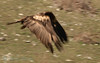 DRACULA...<b>Bearded vulture</b> (a.k.a. lammergeier, lammgam) (<i>Gypaëtus barbatus</i>), immature, Spain 2010.
