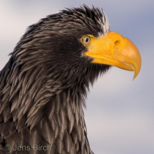 Steller's eagle (Haliaeetus pelagicus), Shiretoko peninsula, Japan. February 2012