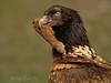 <b>Bearded vulture</b> (a.k.a. lammergeier, lammgam) (<i>Gypaëtus barbatus</i>), immature with a goat's hoof, Spain 2010.