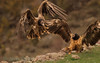 <b>Bearded vultures</b> (a.k.a. lammergeier, lammgam) (<i>Gypaëtus barbatus</i>), two immature interacting, Spain 2010.
