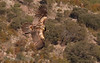 <b>Bearded vulture</b> (a.k.a. lammergeier, lammgam) (<i>Gypaëtus barbatus</i>), immature, Spain 2010.