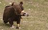 Black vulture, Pyrennées 2010