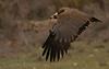 <b>Black vulture</b> (<i>Aegypius monachus</i>, grågam), Spain 2010