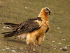 <b>Bearded vulture</b> (a.k.a. lammergeier, lammgam) (<i>Gypaëtus barbatus</i>), adult, Spain 2010.