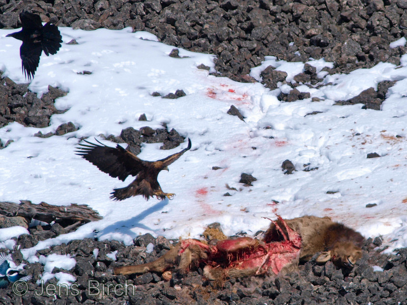 A <b>golden eagle</b> (<i>Aquila crysaetus</i>) landing on a carcass of an elk calf (killed by a mountain lion (puma)). Yellowstone February 2010