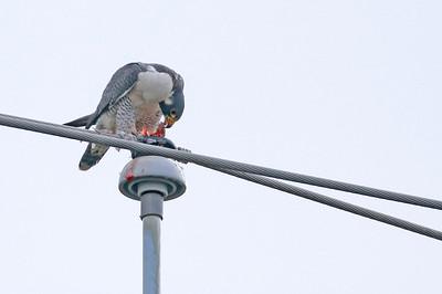 Adult Peregrine Falcon Adult Peregrine Falcon