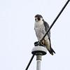 Adult Peregrine Falcon
