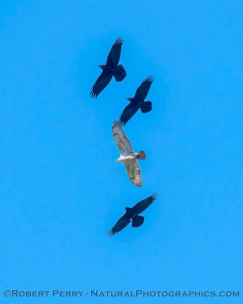 Buteo regalis & 3 Corvus corax soaring thermal 2018 03-19 Woodland--0004