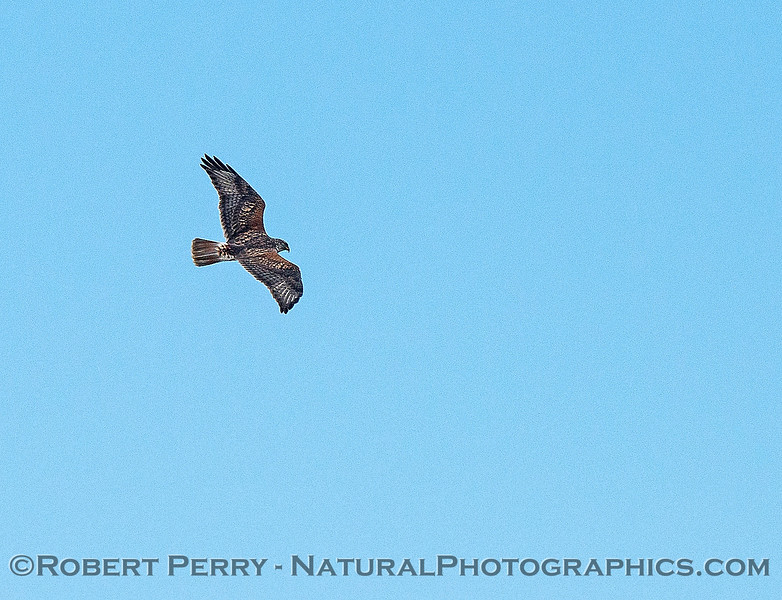 Buteo regalis Ferrugenous hawk in flight 2018 02-10 Woodland--008