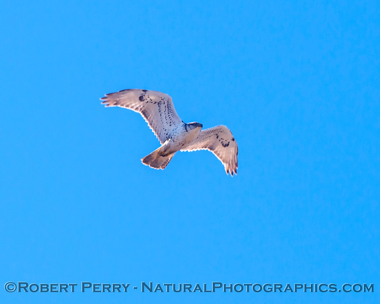 Buteo regalis Ferruginous hawk in flight 2018 02-12 Woodland-001