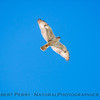 Buteo regalis Ferruginous hawk in flight 2018 02-12 Woodland-024