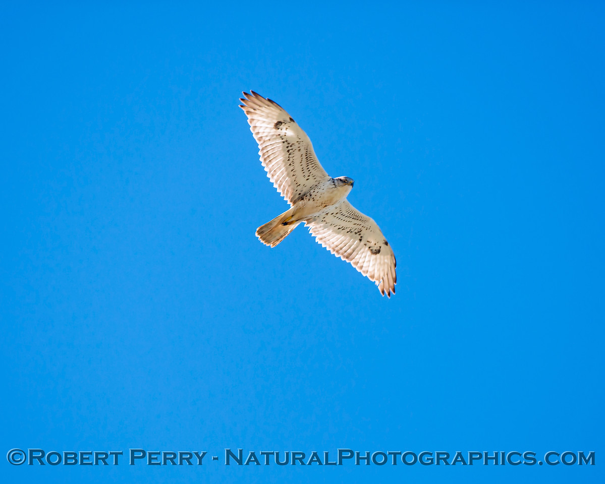 Buteo regalis Ferruginous hawk in flight 2018 02-12 Woodland-024